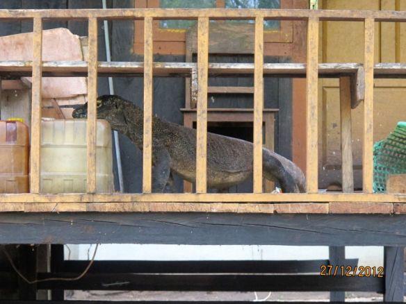 Komodo di rumah penduduk